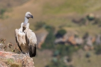 Cape Vulture (Gyps coprotheres) at food bonanza (by S. Rösner)