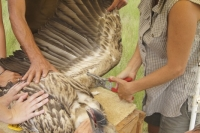 Wing tagging (photo by F. Peter).