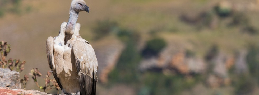 Cape vulture on